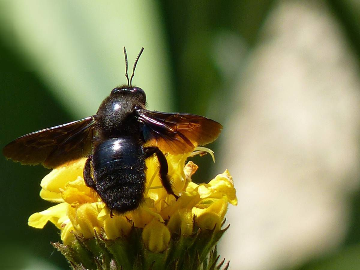 Abeille charpentière - Xylocope - Xylocopa violacea